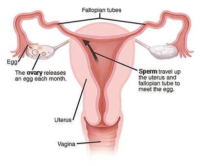 During each menstrual cycle, one of the ovaries releases an egg. This egg travels into a fallopian tube. After vaginal intercourse, sperm can enter the tube and fertilize the egg. The fertilized egg then implants in the wall of the uterus. If the egg isn't fertilized, it is absorbed by the body. Or, it's discharged during your monthly period.
